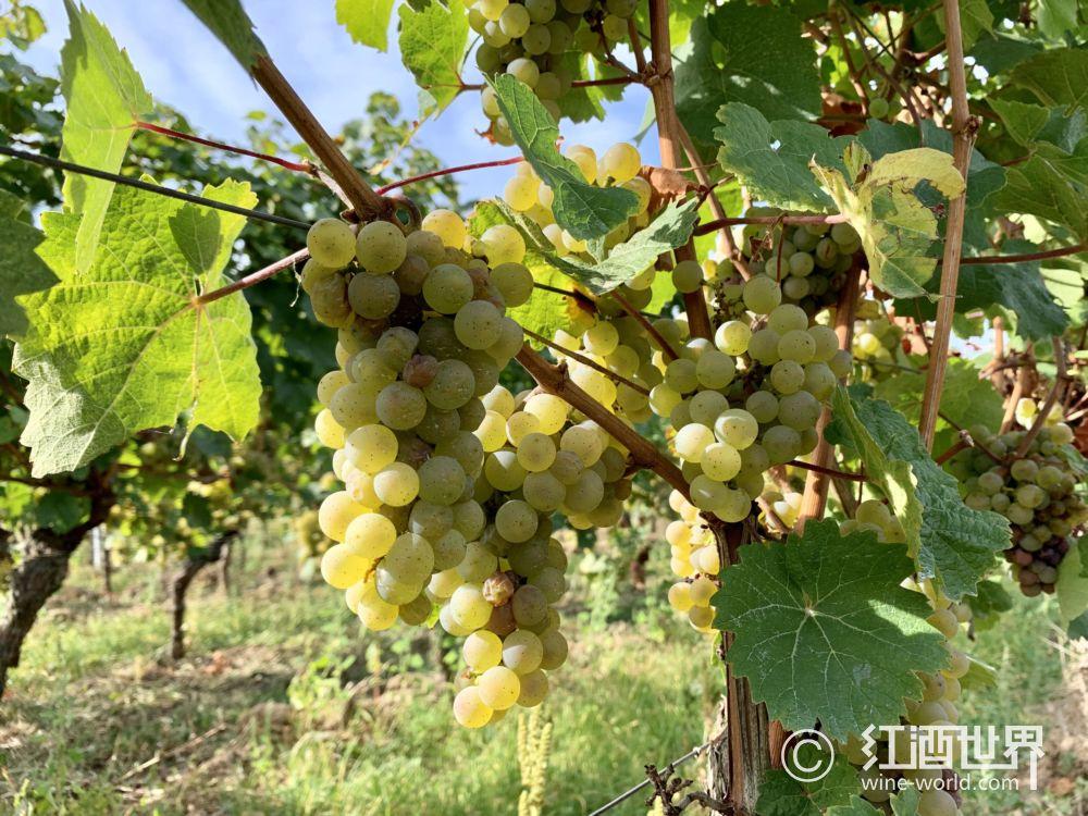 不可不知的白葡萄品种——雷司令