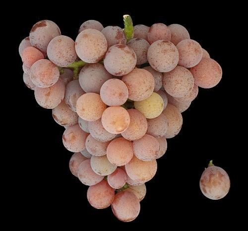 琼瑶浆——阿尔萨斯最著名的葡萄品种