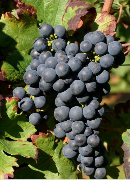 这些葡萄品种的别名,你都知道吗?