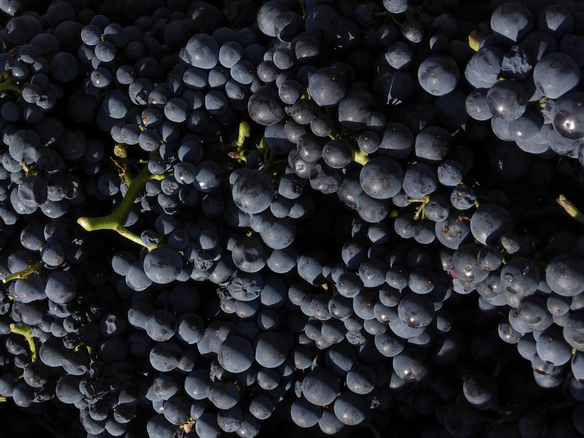 葡萄梗在酿造中的妙用