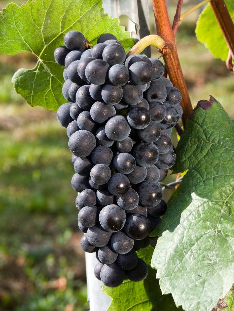 葡萄酒对葡萄有什么要求