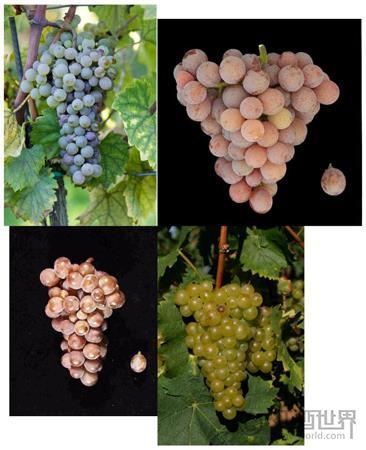 法国阿尔萨斯葡萄酒指南