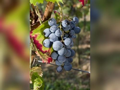 寻觅葡萄酒中的黑色水果香气
