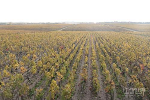 新世界葡萄种植走势放缓