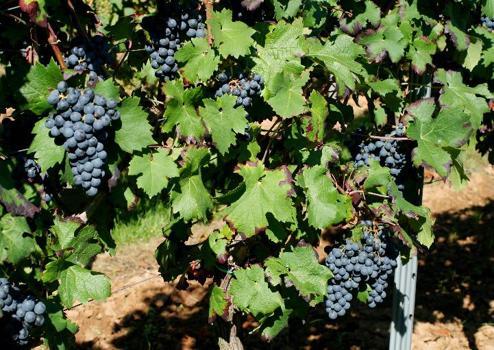 六国明星葡萄品种,你认识几个?