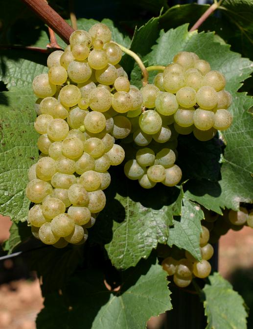 罗马尼亚——世界第13大葡萄酒产国