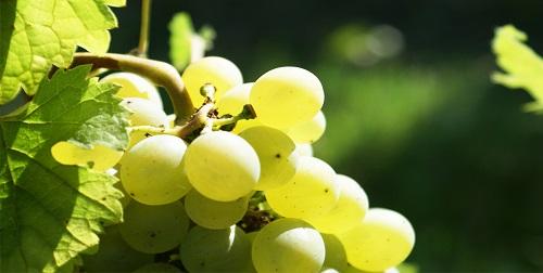 世界上最常见的6大葡萄品种