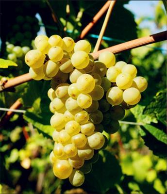 白皮诺(Pinot Blanc)