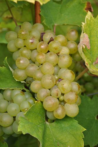 富尔民特——酿造匈牙利顶级葡萄酒的品种