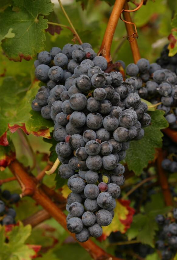 葡萄酒百科:关于单宁的5个小知识