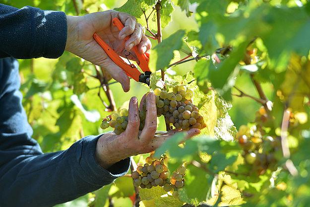 德国2020葡萄采收报告