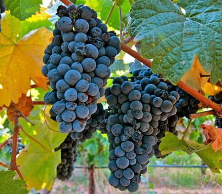 莫尼耶皮诺(Pinot Meunier)