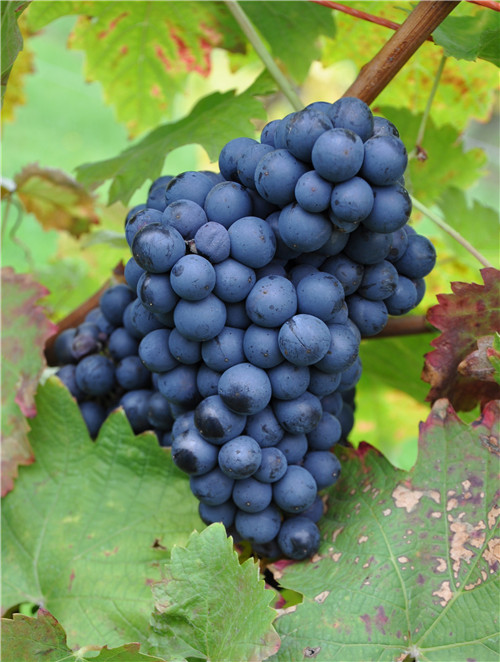 速览:波尔多将新增7个法定葡萄品种