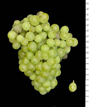 里奥哈的葡萄长啥样?