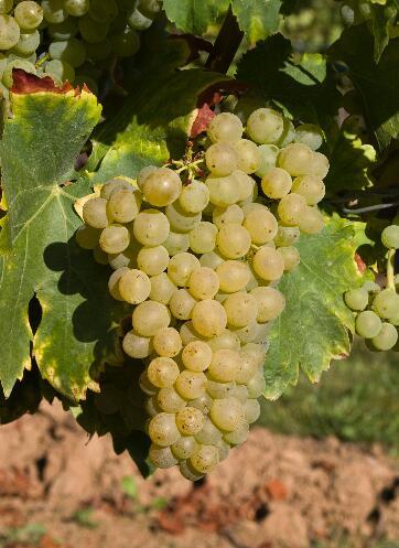 带你走进白歌海娜葡萄酒的世界