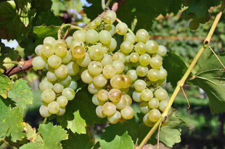 弗留利本土葡萄品种