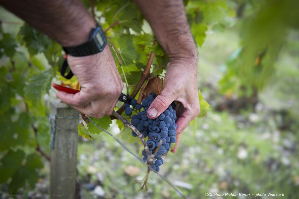 葡萄采收:机器还是手工?